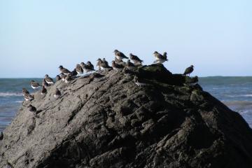 Black Turnstones on the rock