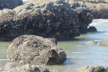 Starfish edge of mussel bed exposed
