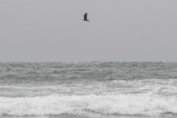 One adult bald eagle cruised by.