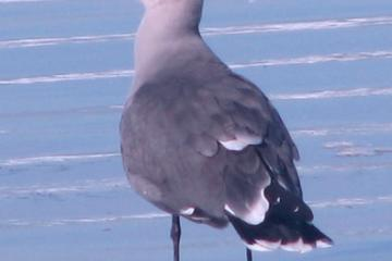 Adult Heermann's Gull (Larus heermanni)at water's edge.