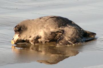 In addition to several dead northern fulmars (Fulmarus glacialis) washed up on the beach, I found this flagging immature fulmar at water's edge.