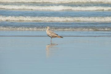 One of five gulls foraging along the tide line.
