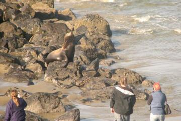 This hauled out California sea lion (Zalophus californianus) on the rip rap at the Nye Beach sewage outfall, originally sunning itself, appeared to me to be driven off the beach by people approaching it too closely.