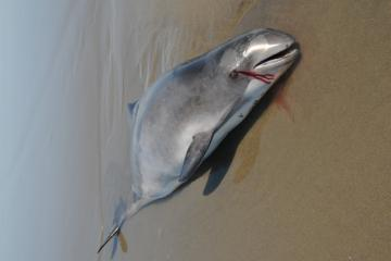 This is a juvenile harbor porpoise. It was a male approximately four feet in length.
