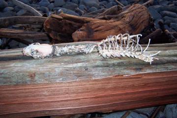 Long-necked mammal skeleton in driftwood