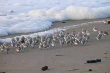 Flock of Sanderlings & Surfbirds