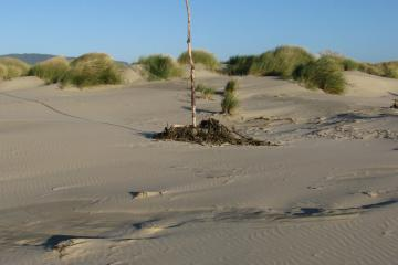 This is another attempt to identify where the trail is when one is on the beach.  The is the last cross-dune trail on the northern end of Bayocean Spit.