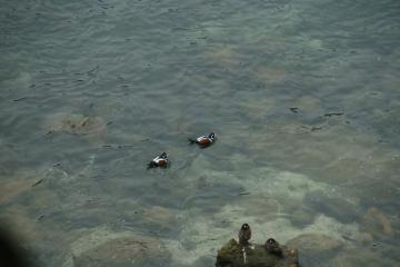 Harlequin ducks in the North Cove, Cape Arago. When a third male showed up, it was vigorously chased off.