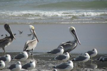 A few pelicans were spotted with a whole lot of gulls down at the end of the Bayshore spit, North Alsea Bay, OR.