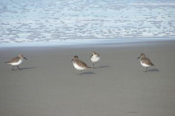 Notice the Dunlin's one-legged stance when resting.  They do have two legs!