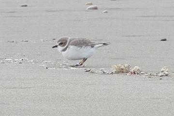Snowy Plover showing the bands.