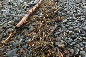woody debris, logs, plastic bits and bottles, dead birds, glass float (yay), tsunami debris