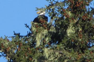 Eagle resting on Sitka spruce