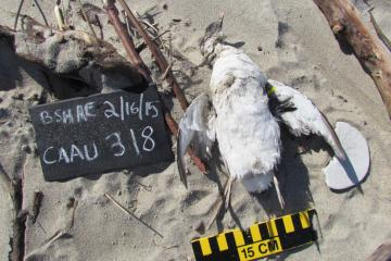 Dead bird identified as a Cassin's auklet. We banded the carcass as #318.