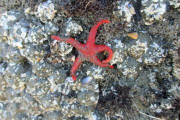 A beautiful blood star was found in one of the  tidepools during low tide at Harris Beach State Park, Mile 8.