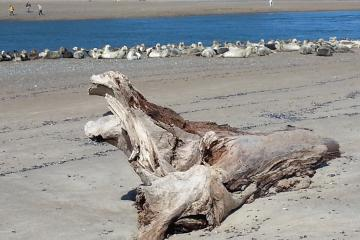 "Elephant seal driftwood ""sculpture"" in front of harbor seal colony"