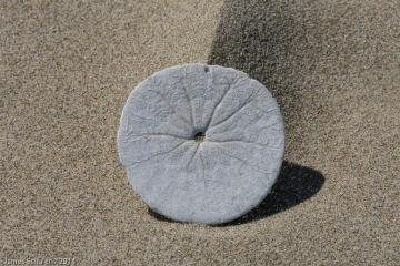 just south of parking lot 4 beach access, an undisturbed sand dollar