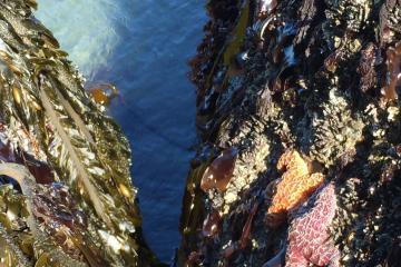 Pair of Ochre Sea Star