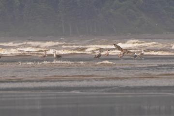 Gulls foraging along the shoreline.