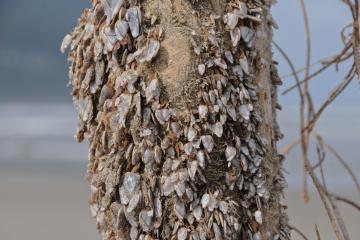 A close up of pelagic gooseneck barnacles.