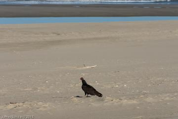 A Turkey Vulture just sitting on the beach.