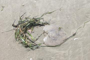 Sea jelly and kelp found in the wrack line during Bayshore cleanup.
