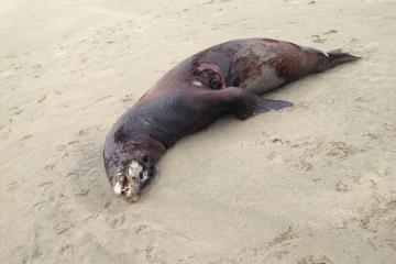 This mammal was seen walking north from Agate Cove.