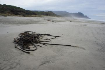 Two small bunches of Bull kelp were found on the beach.