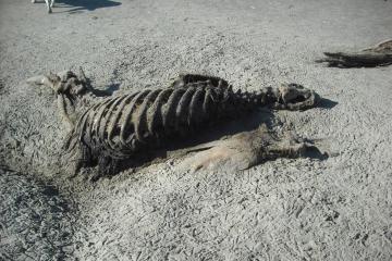 very dead sea lion; skeleton, oregon coast