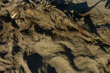 Found dead raccoon on beach