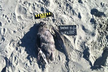 Dead shorebird identified as a northern fulmar. Tag #335.