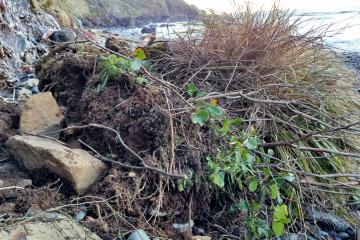 This freshly-fallen clump of land is about one cubic yard in volume. It is just one of the many that slid down the cliff in December.
