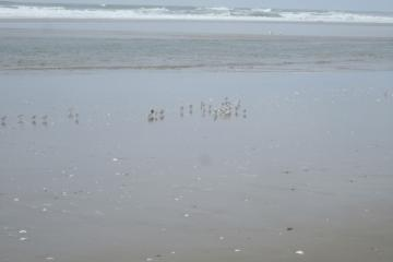 Group of 50-60 sanderlings