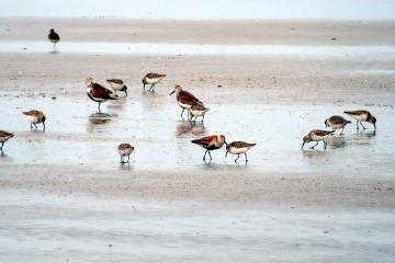 One of the groups of shorebirds