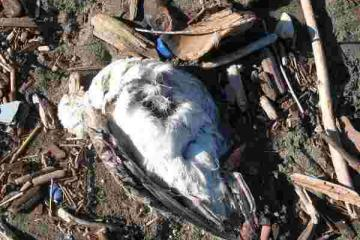 this is one of many dead gulls i saw down near hubbard creek. that is their main hang out, right along the creek. i assume they perished in the bad weather. no oil or any obvious cause of death.