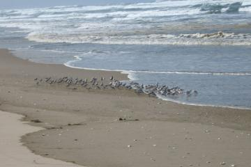 Sanderlings and one larger Dunlin are shown in this picture.
