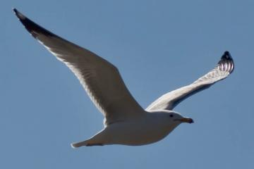 Adult gull in flight. Just a 90mm lens, so this guy was pretty close.