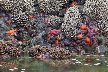 Sea Stars at Chinook Winds rocks