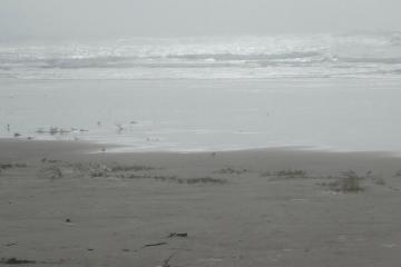 Snowy Plovers along surf