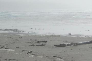 Snowy Plovers along surf #2