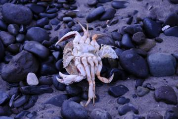Dead crab on beach after tide went out