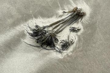Palm kelp in debris line