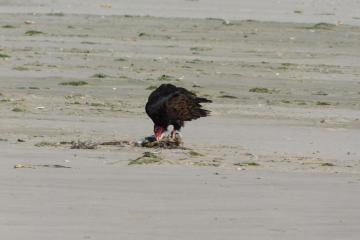 Turkey Vulture scavenging Gull carcass