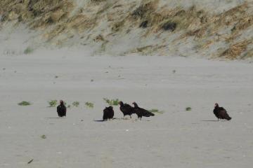 Turkey Vultures on sand