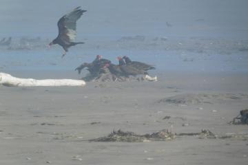 Turkey Vultures scavenging California Sea Lion carcass