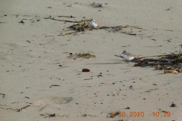 Western Snowy Plovers, Bayshore Beach