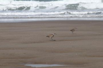 Whimbrel, I think