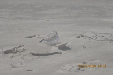 Snowy Plover Mile 203 with Wrack Line